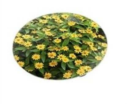Picture of Home Element HE-SC908 Yellow Daisies